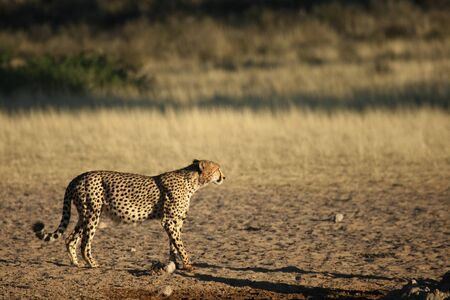 Cheetah (Acinonyx jubatus) in Kalahari desert walking on sand with green tree background in evening sun. After hunting wildebeest. Stockfoto