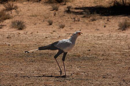 Der Sekretärvogel oder Sekretärvogel (Sagittarius serpentarius) geht und jagt im trockenen Sand in der Kalahari-Wüste. Standard-Bild