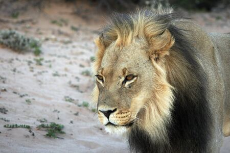 Lion male (Panthera leo) walking in Kalahari desert and looking for rest in his morning sun. Sand in background. Lion mail portrait.