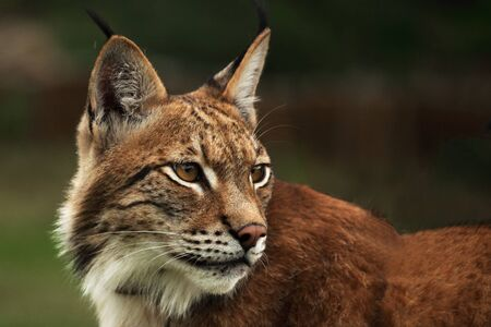 Eurasian lynx (Lynx lynx) in front of the forest. Young male with green background. Lynx portrait in morning sunlight.