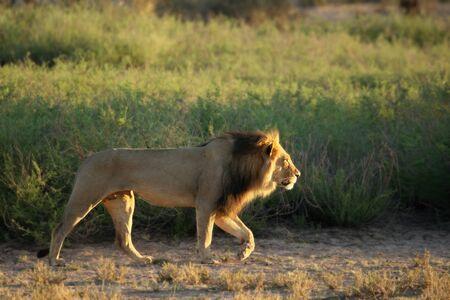 Macho de león (Panthera leo) caminando en el desierto de Kalahari y buscando descansar en su sol matutino. Arbusto verde arena en el fondo.