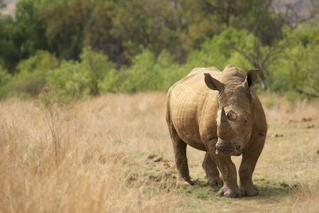 A White Rhinoceros Rhino (Ceratotherium simum) staying in a grassland with green trees in the background in the Pilanesberg Game Reserve.