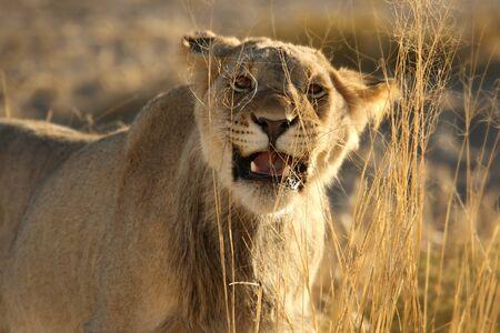 Lioness (Panthera leo) walking in Kalahari desert. Sand in background. Lioness portrait up to close.