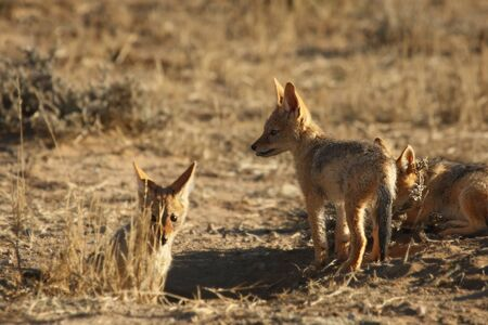 Black-backed Jackal (Canis mesomelas) in the morning. Awaiting for mother.
