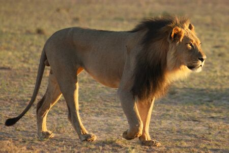Lion male (Panthera leo) walking in Kalahari desert and looking for rest in his morning sun. Sand green bush in background. Reklamní fotografie