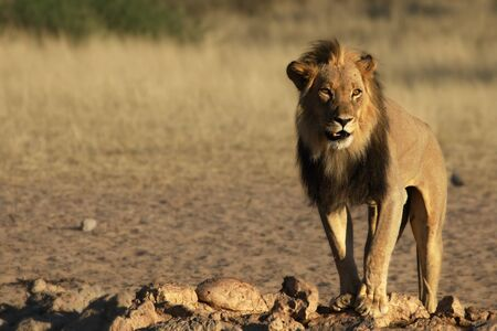 Lion male (Panthera leo) walking in Kalahari desert and looking for rest in his morning sun. Sand green bush in background. Lion close to the waterhole. Reklamní fotografie
