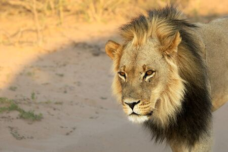 Lion male (Panthera leo) walking in Kalahari desert and looking for rest in his morning sun. Sand in background. Reklamní fotografie