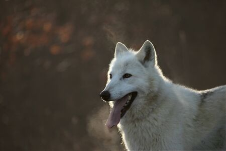 An Arctic Wolf (Canis lupus arctos) sitting in a dry grass in front of the forest. Calm white and beautiful Arctic Wolf Feline. White Wolf Feline Portrait.
