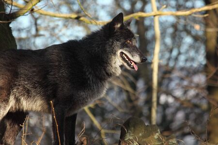 A North American Wolf (Canis lupus) resting in the forest. Calm, black and big North American wolf male.