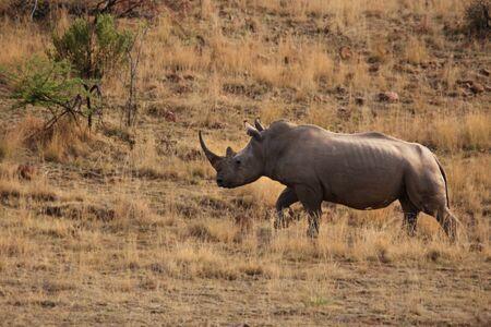A white rhinoceros, Rhino (Ceratotherium simum) sitting in grassland with green trees in background in Kalahari desert.