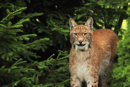 Le lynx eurasien (Lynx lynx) devant la forêt. Jeune mâle avec fond vert. Portrait de Lynx au soleil du matin.