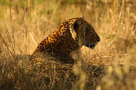 The African Leopard (Panthera pardus pardus) in the dry grass. Leopard portrait in the morning sun.