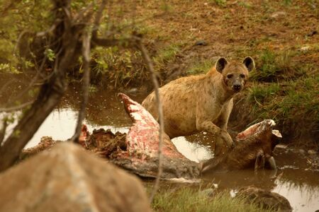 The pregnant spotted hyena (Crocuta crocuta) (Laughing hyena) after hunt. Spotted hyena eating wildebeest in the river. Stock Photo
