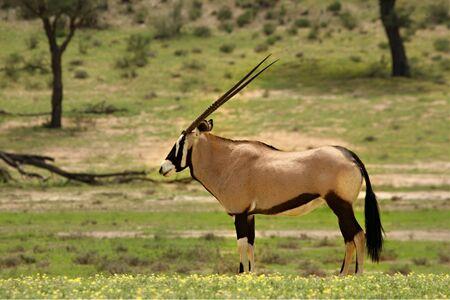 A gemsbok (Oryx gazelle) resting in the green grass of the Kalahari desert. Trees in background. Reklamní fotografie