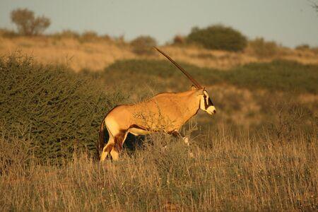 Gemsbok (Oryx gazelle) walking in dry and high grass on Kalahari desert in evening sunlight. Green trees in background.