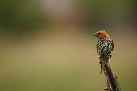 The Lesser Striped Swallow (Cecropis abyssinica) sitting on the branch. Green background. Reklamní fotografie