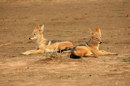 Pair of Black-backed Jackals (Canis mesomelas) laying on waterhole on sand in evening sun. Two jackals in love.