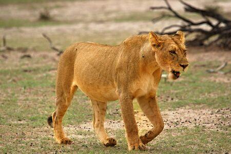 Lioness (Panthera leo) walking in Kalahari Desert and looking for her pride. Break before hunt.