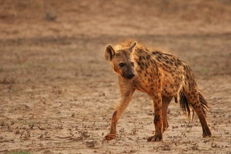 Lonely Spotted Hyena (Crocuta crocuta) (Laughing Hyena) giving a look and going through a parched desert in Kalahari. Walk in the sand cross parched river trough. Break before hunt. Straight at the camera.