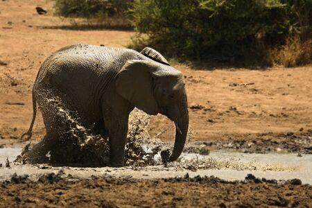 Young african bush elephant (Loxodonta africana) splash mud. Elephant in bath. Elephant splash mud.