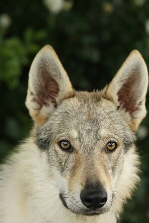 A Czechoslovakian Wolfdog (Canis lupus familiaris) female portrait with green background. Part of wolf, part of dog.
