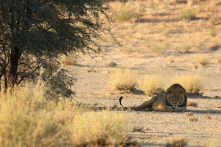 The hude lions male (Panthera leo) lying in the shade of Kalahari desert. One green tree on dry desert. Lion on the sand with dry grass in front of the lion.