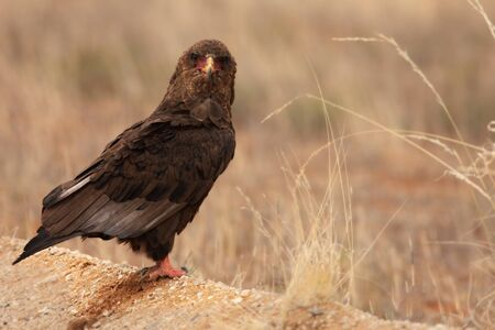 The immature Bateleur (Terathopius ecaudatus) sitting on dry sand. Dry grass around. Eye to eye. Up to close.