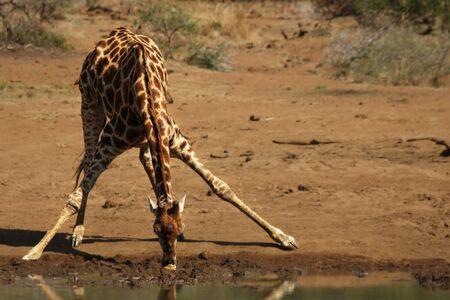 African giraffe (Giraffa camelopardalis giraffa) making a bow to drink from waterhole on the Kalahari desert. Waterhole is on sand. A tree in the background.