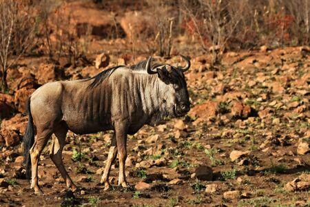 A blue wildebeest (Connochaetes taurinus) calmly walking in dry bush on red sand in Kalahari desert.