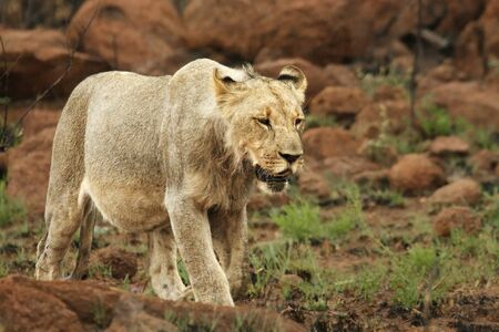Lioness (Panthera leo) walking in Kalahari desert and looking for the rest of her pride. Red stones in background. Reklamní fotografie