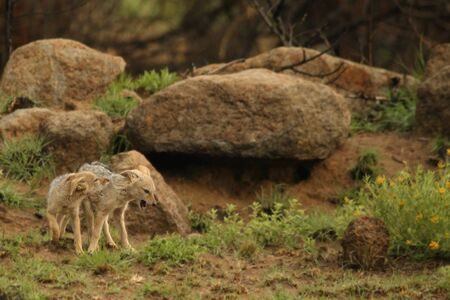 Black-backed jackal (Canis mesomelas) puppies playing in the dry grass in morning sun with rocks in background. Jackal puppy awaiting for mother.