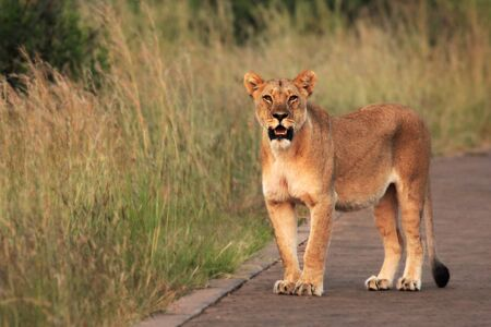 The lioness (Panthera leo) staying on the road in South Africa Safari. Grassland in the background. Lioness up to close.