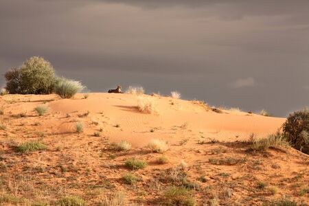 The cheetah (Acinonyx jubatus) lying on the red sand dune in Kalahari desert. Grey sky after rain and storms in background.