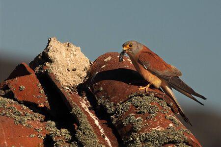 The lesser kestrel (Falco naumanni) with death beatle in the beak. The Lesser kestrel with the big beatle on old roof in evening sun. Reklamní fotografie