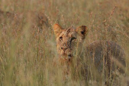 Lion (Panthera leo) staying hidden in dry grass in south african safari. Dangerus predator in grassland in morning sun. Lions pride awaiting for hunt.