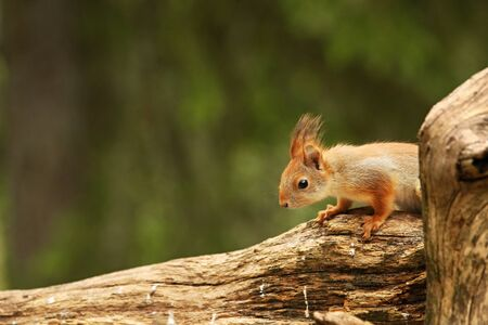 A red squirrel (Sciurus vulgaris) also called Eurasian red sguirrel sitting in branch in a green forest. Squirrel looking for the food with a green background Banco de Imagens