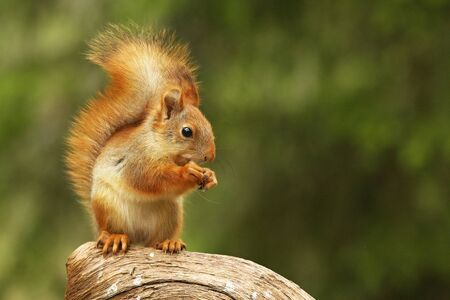 A red squirrel (Sciurus vulgaris) also called Eurasian red sguirrel sitting and feeding in branch in a green forest. Squirrel looking for the food with a green background