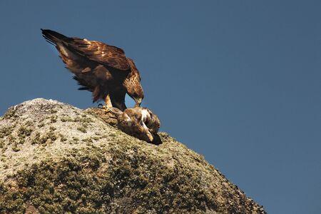 L'aigle royal (Aquila chrysaetos) après chasse avec le lapin mort. L'aigle royal sur le rocher au soleil du soir. Banque d'images