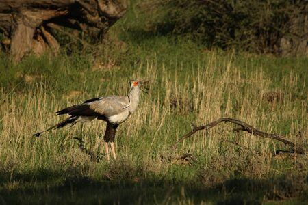 The secretarybird or secretary bird (Sagittarius serpentarius) walking and hunting in the green grass in kalahari desert. Secretarybird with the snake in the beak. Hunting secretarybird.