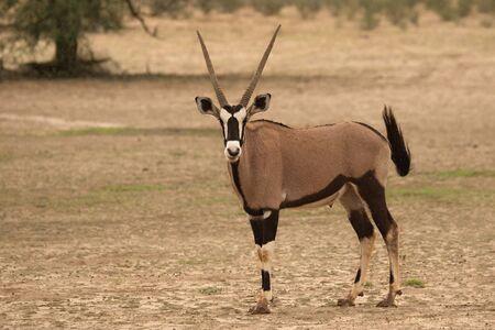 De gemsbok of gemsbuck (Oryx-gazella) die zich op het zand met groene achtergrond bevindt. Groene boom op de achtergrond. Stockfoto