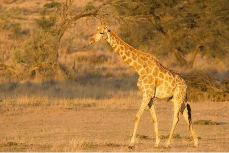 Giraf (Giraffa camelopardalis giraffa) walkingon zand in de woestijn van Kalahari. Gras achtergrond. Ontspanning. Stockfoto