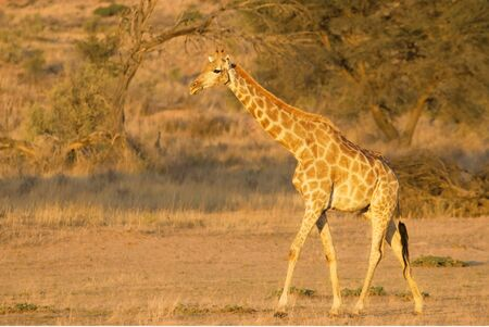 Jirafa (Giraffa camelopardalis giraffa) caminando sobre arena en el desierto de Kalahari. Fondo de hierba. Relajación. Foto de archivo