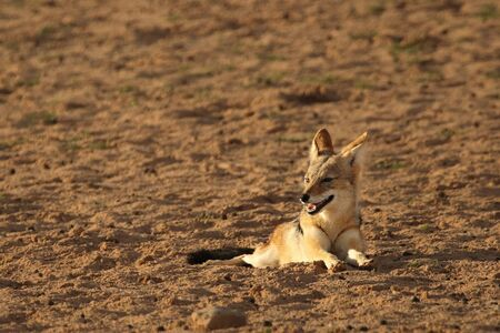 The black-backed jackal (Canis mesomelas) in Kalahari desert in morning sun. The black-backed jackal has a rest in Kalahari desert.