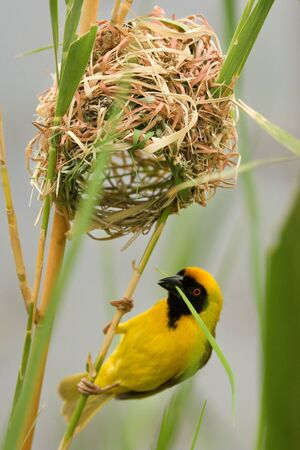 The southern masked weaver or African masked weaver (Ploceus velatus) sitting in the grass and building the nest.