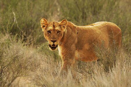 Leeuwin (Panthera leo) die in de woestijn van Kalahari loopt en de rest van haar trots zoekt. Gras en bomen op de achtergrond. Stockfoto