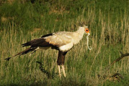 The secretarybird or secretary bird (Sagittarius serpentarius) walking and hunting in the green grass in kalahari desert. Reklamní fotografie