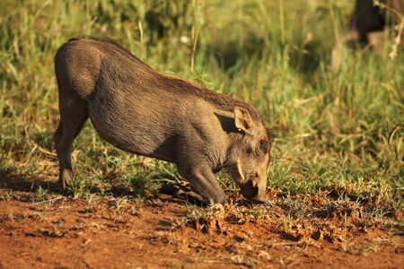 The common warthog (Phacochoerus africanus) feeding on the green grass in evening sun. Red sand and green grass around. Stock Photo