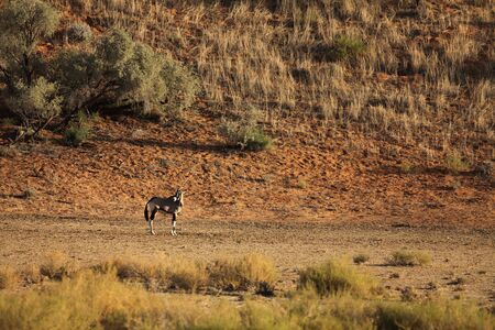 The gemsbok or gemsbuck (Oryx gazella) standing on the red sand dune with red sand and dry grass around. Red sand dune in the background.