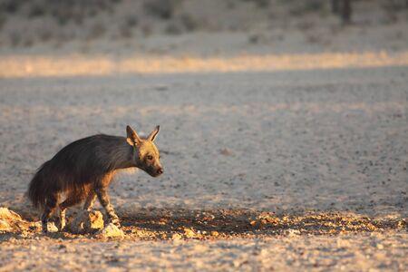 The brown hyena (Parahyaena brunnea) running from the waterhole in morning sun. Scared brown hyena on the sand in Kalahari desert.
