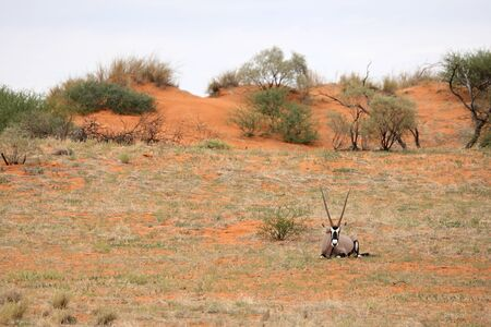 The gemsbok or gemsbuck (Oryx gazella) lying on the red sand dune with red sand and dry grass around. Grey sky in the background.